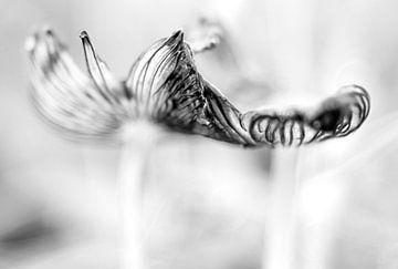 Hasenfuß (Pilz) von Helena Beumer
