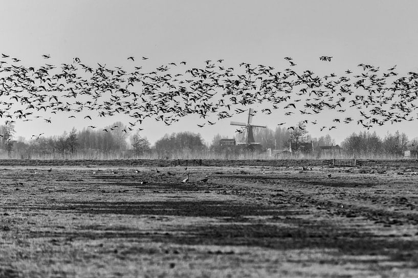 Canadian Geese in The Netherlands sur noeky1980 photography