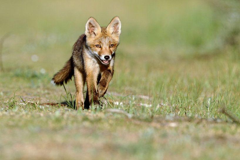 Rennende jonge vossen welp van Menno Schaefer