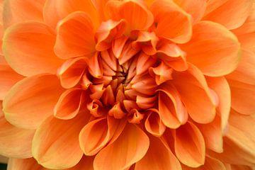 Oranje Dahlia van Susan Dekker