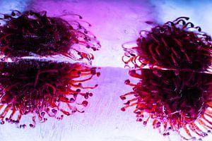 Leucospermum in roze in ijs 1 van Marc Heiligenstein