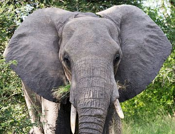 closeup van olifant van