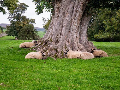 Schapen rusten bij dikke boom