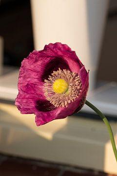 mooie roze klaproos van Mirjam Welleweerd