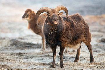 Mufflons von Marja Riedstra
