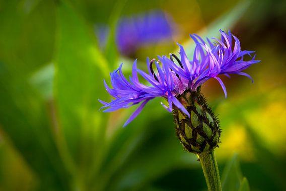 Cornflower 'Blooming' van William Mevissen