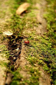Lieveheersbeestje in het bos van Hanne Berden