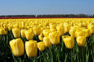 Een gele tulpenveld van Gerard de Zwaan