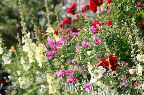 Stockmalven, Stockmalve, Stockrose, Blume, Blüte, Zaun, Gartenzaun