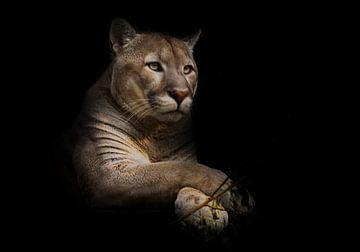 Un fier et beau chat prédateur est assis dans l'obscurité. Chat dans la forêt de nuit, fond noir. Pu sur Michael Semenov