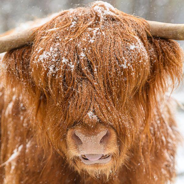 Bétail Highland écossais dans la neige sur Sjoerd van der Wal