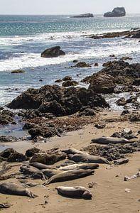 Zeeleeuwen langs Pacific Coast Highway 101, Californië, Amerika van