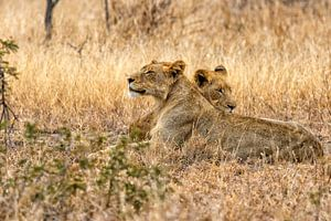Luie jonge leeuwen