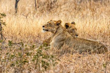 Jeunes lions paresseux sur Cor de Bruijn