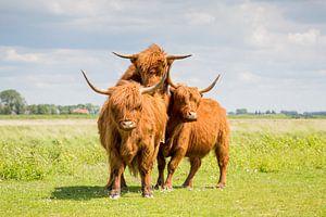 Schotse Hooglanders 3  Eiland Tiengemeten