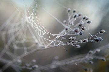 Zweige eines Wildkrauts mit getrockneten Blüten und einem Spinnennetz mit Tautropfen an einem neblig