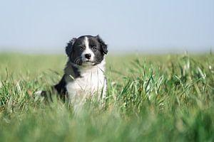 Friesischer Welpe im hohen Gras.