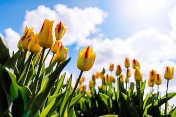 Tulpenfelder von Bert Kok