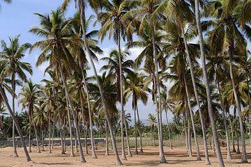 Palmeraie près de Salalah sur Alphapics