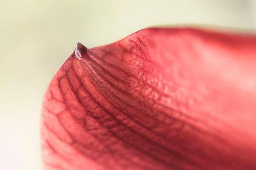 Amaryllis I  van Michael Schulz-Dostal