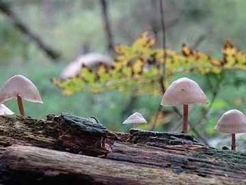 Sfeerplaatje van tere paddenstoelen op verweerde boom van Tineke Laverman