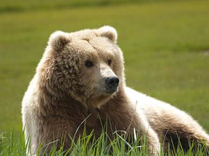 Grizzlybeer - Alaska