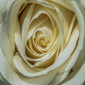 Weiße Rose in Nahaufnahme von Gert Hilbink