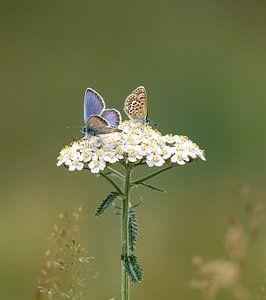 Heideblauwtjes van Yvon van der Laan