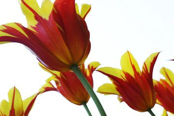 Tulpen sur douwe Weitenberg