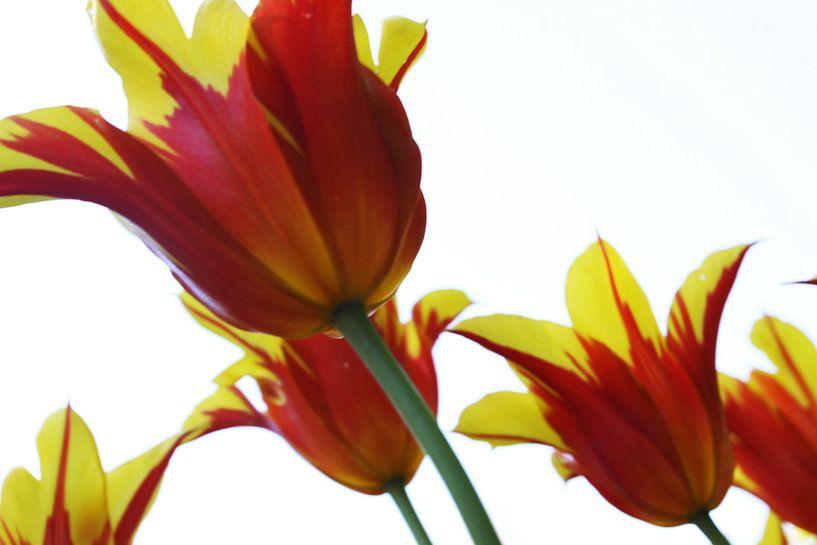 Tulpen van douwe Weitenberg