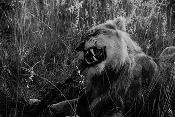 Löwe schärft seine Zähne von Kim de Vos  - Carpe Diem