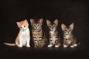 Kitten Katten Poezen van Stichting Kittenopvang Kitten&Co