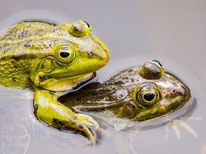 Twee parende groene kikkers