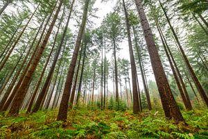 Dennenbomen in het bos tijdens een mistige dag