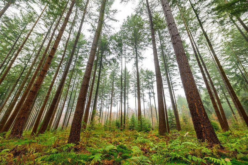 Dennenbomen in het bos tijdens een mistige dag van Sjoerd van der Wal