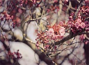 japanische Kirsche in Blüte!