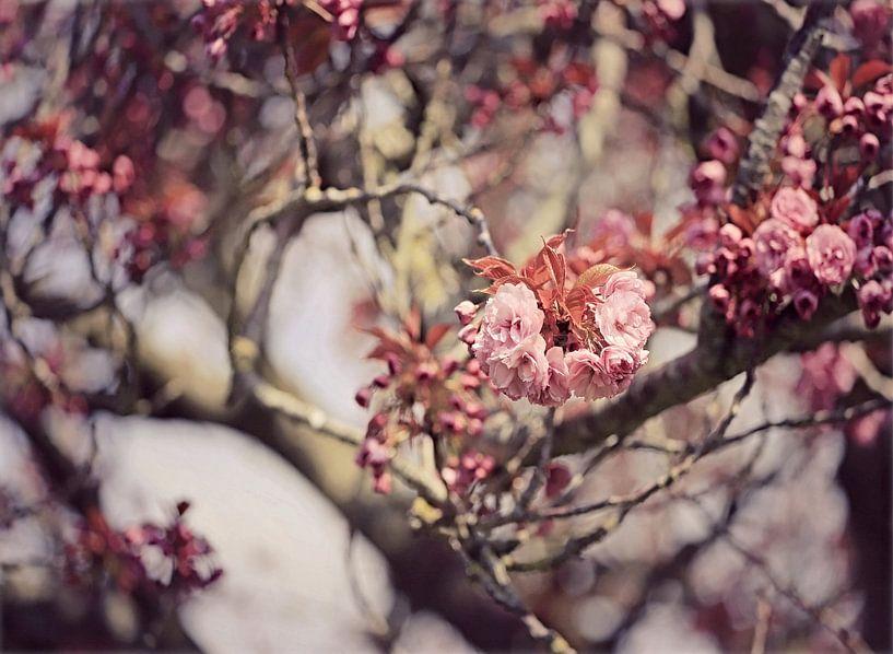 japanische Kirsche in Blüte! von Els Fonteine