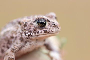 Little toad van Antoine Deleij