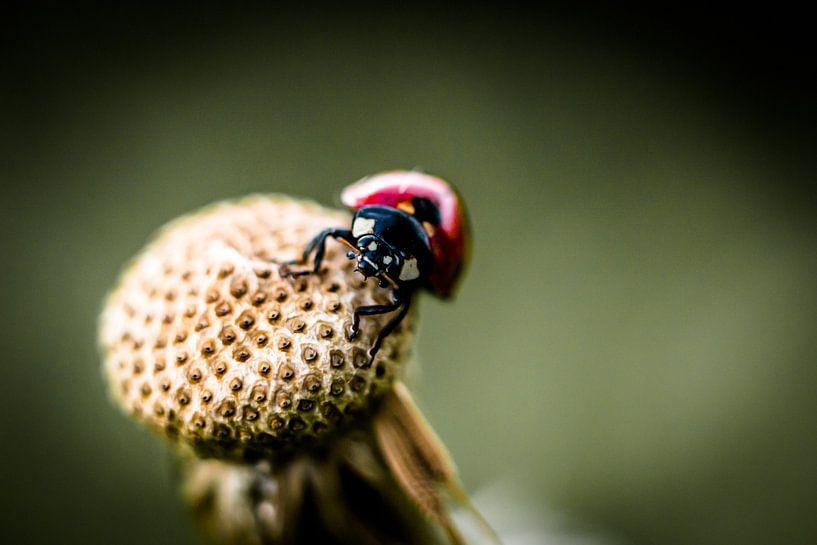 lieveheersbeestje op paardepluis van Frank Ketelaar