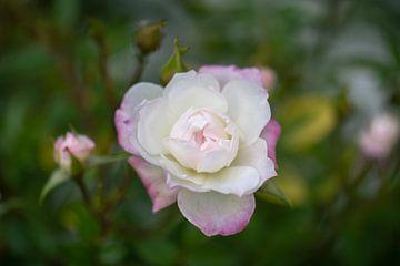 kleine rose von Tania Perneel