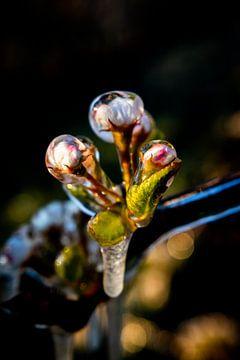 Schönes Bild der gefrorenen Apfelblüte im Obstgarten von Arthur Puls Photography