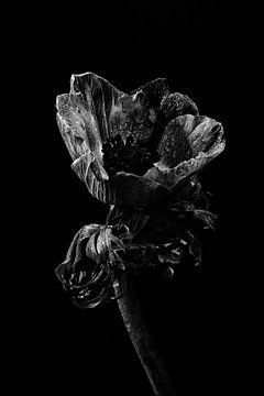 Fleur rouge avec gouttes d'eau | Nature morte