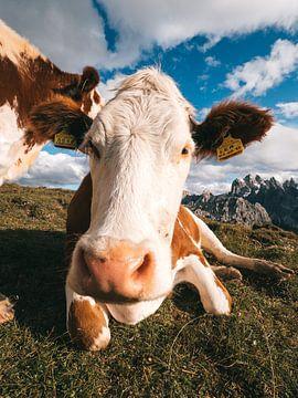 Vaches italiennes dans la prairie avec les Dolomites en arrière-plan sur Michiel Dros