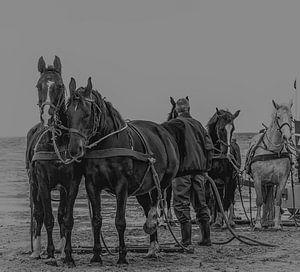 Les chevaux de sauvetage difficiles d'Ameland