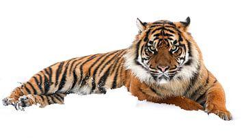 Posing tiger von Tazi Brown