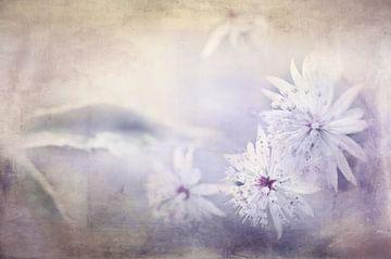 Sterndolde in pastel von Annette Hanl