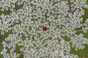 Wilde Karotte in Blüte, einsam in der Mitte von Sven Scraeyen