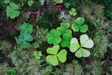 Blätter der Wald-Sauerklee von Ron Poot