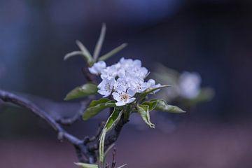 Apfelblüte von Maja Mars
