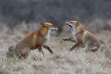 European Red Foxes ( Vulpes vulpes ) in agressive fight, baring teeth van wunderbare Erde